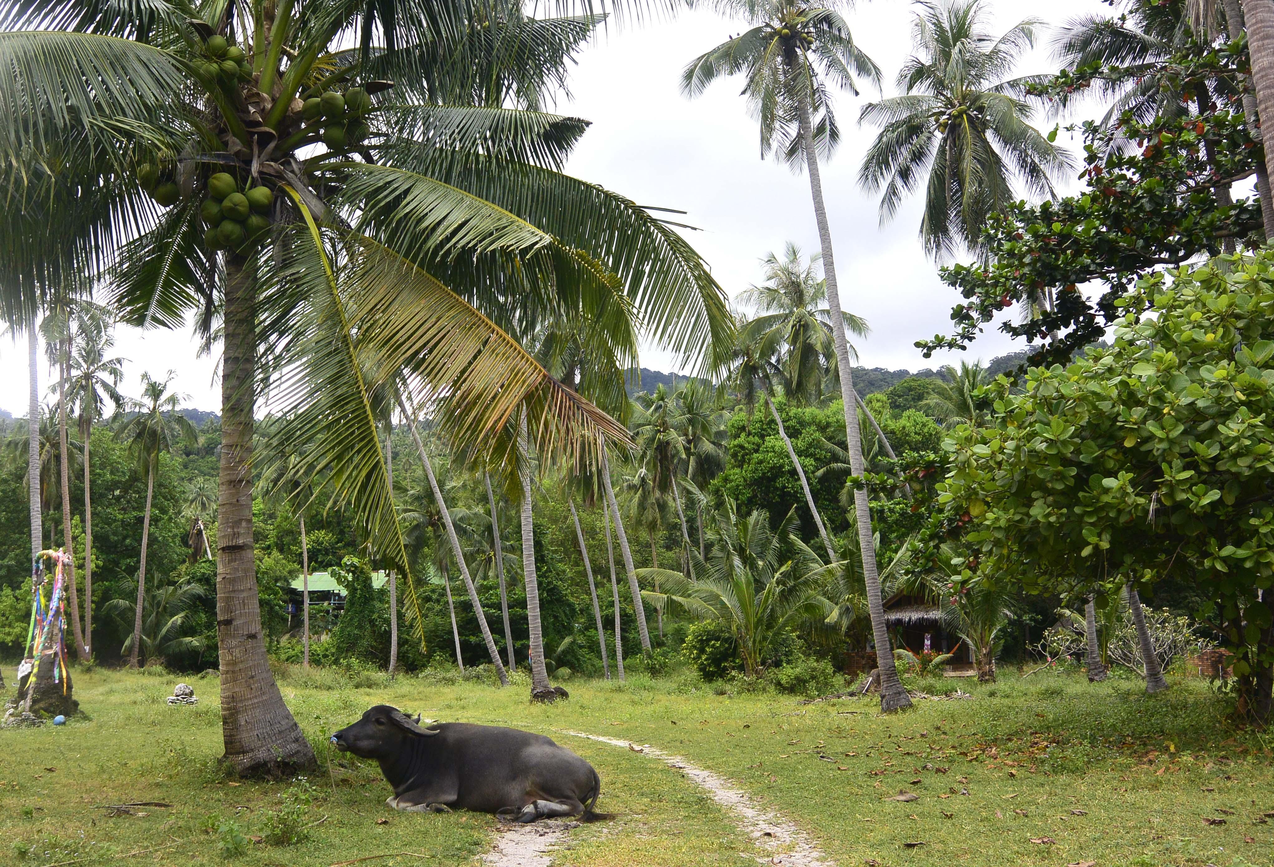 ko-pha-ngan-cow